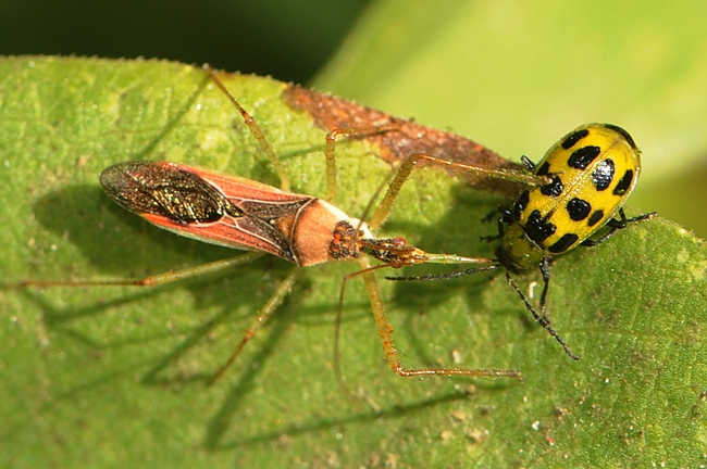 Predator and the prey: Assassin bug (left) corners a pest, a spotted cucumber beetle. (Photo by Kathy Keatley Garvey)