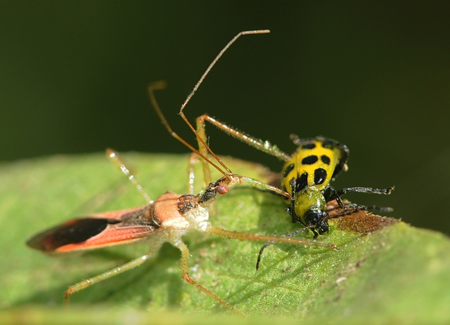 Assassin bug stabs the spotted cucumber beetle. (Photo by Kathy Keatley Garvey)