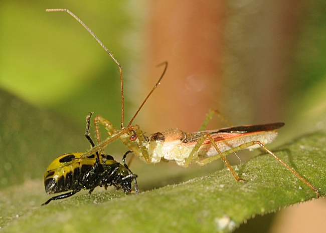 Assassin bug wins. (Photo by Kathy Keatley Garvey)