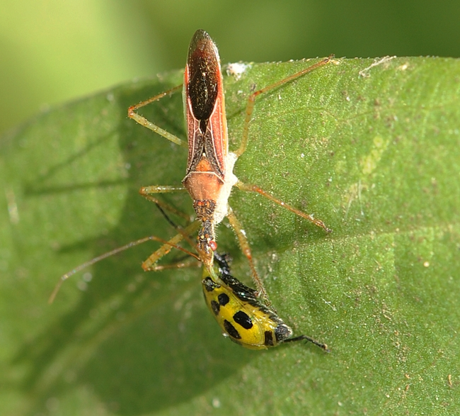 Assassin bug dining on spotted cucumber beetle.  (Photo by Kathy Keatley Garvey)