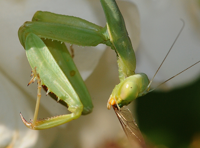Praying mantis with remnants of a meal. (Photo by Kathy Keatley Garvey)
