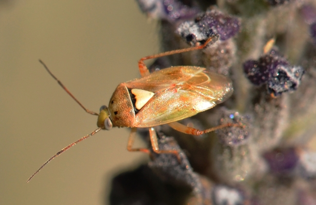 Lygus bug (Lygus hesperus) is a major agricultural pest. (Photo by Kathy Keatley Garvey)