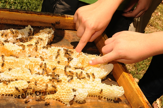 Fingers dipping in a honeycomb at the Harry H. Laidlaw Jr. Honey Bee Research Facility at UC Davis. (Photo by Kathy Keatley Garvey).