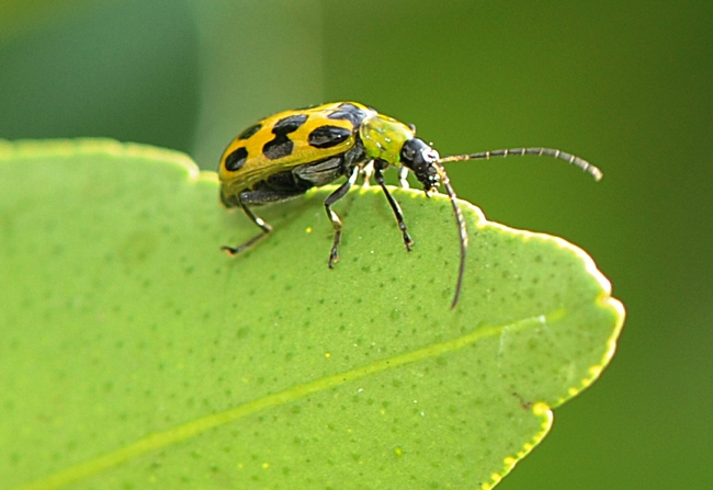 Spotted cucumber beetles crawls along a tangerine leaf. (Photo by Kathy Keatley Garvey)