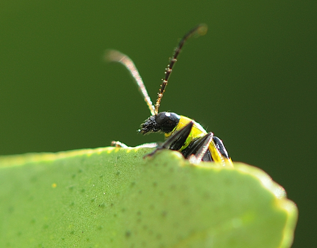 Antennae twitching rapidly, the spotted cucumber beetle looks around. (Photo by Kathy Keatley Garvey)
