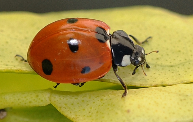 The ladybug's coloring warns
