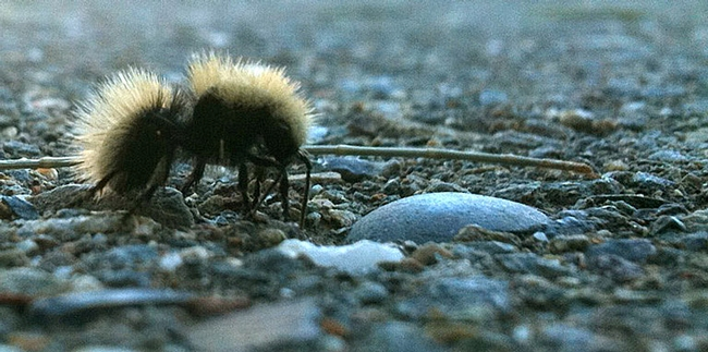 Equine Control Officer Laurie Christison of the Center for Equine Health captured this cell-phone image of a female velvet ant.
