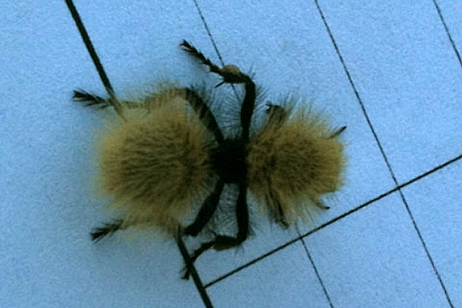 View from above: The female velvet ant by  Laurie Christison, UC Davis equine control officer.