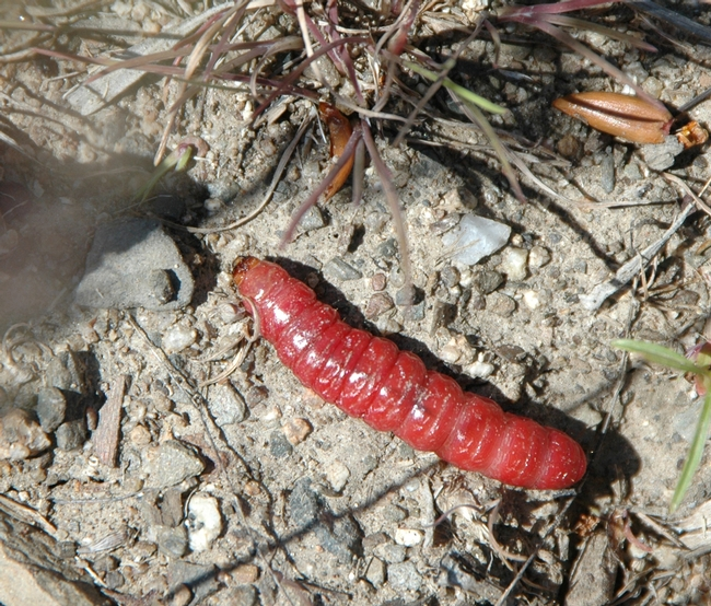 Red caterpillar on the move--but it probably won't be eaten by birds. (Photo by Teresa Willis)