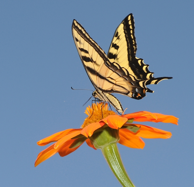 A Western tiger swallowtail (Papilio rutulus) lands on a Mexican sunflower, aka Tithonia, in the Haagen-Dazs Honey Bee Haven at UC Davis. (Photo by Kathy Keatley Garvey)