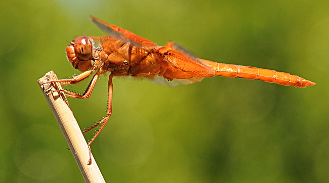 This flame skimmer was one of the entries accepted into the 2011 Insect Salon. (Photo by Kathy Keatley Garvey)