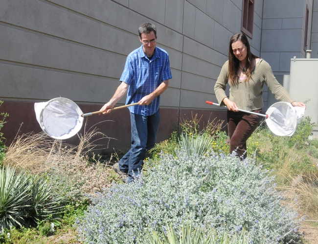 Assistant professor Neal Williams and Kimiora Ward, research associate from the Williams lab, collect bees. (Photo by Kathy Keatley Garvey)