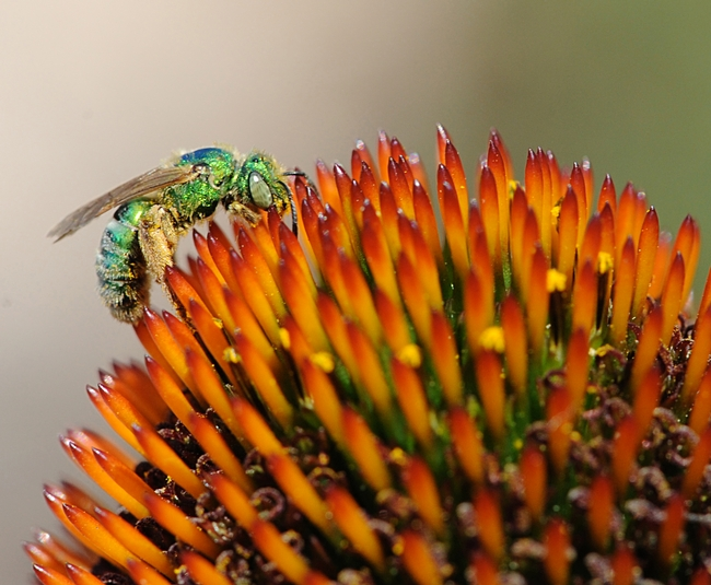 Metallic green sweat bee (Agapostemon texanus) on coneflower. (Photo by Kathy Keatley Garvey)