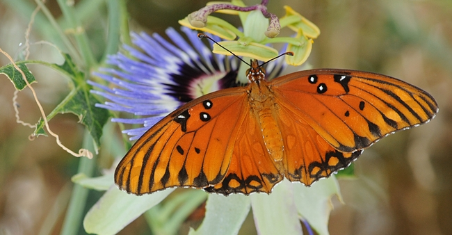 Gulf fritillary nectaring a passionflower vine. (Photo by Kathy Keatley Garvey)