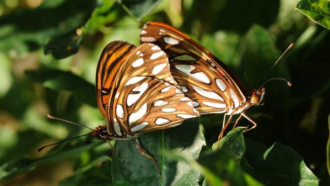 Mating gulf frits. (Photo by Kathy Keatley Garvey)