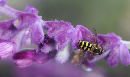 HOVER FLY--A hover fly, mimicking the coloring of a wasp, is nectaring sage. (Photo by Kathy Keatley Garvey)