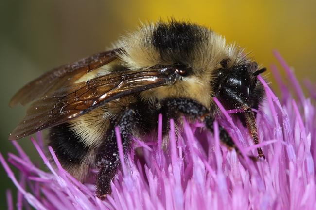 Cockerell's bumble bee. (Photo by Greg Ballmer, UC Riverside)