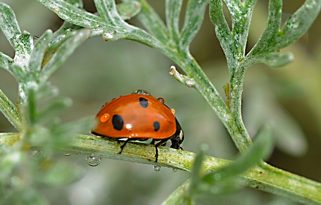 A ladybug in the winter. (Photo by Kathy Keatley Garvey)