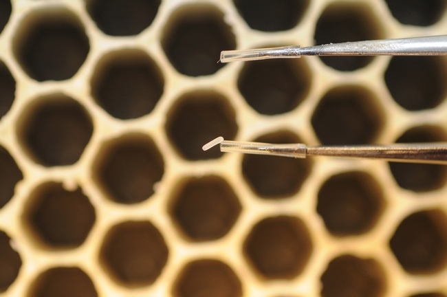 The tiny egg of a future honey bee weighs about 0.1 mg. (Photo by Kathy Keatley Garvey)