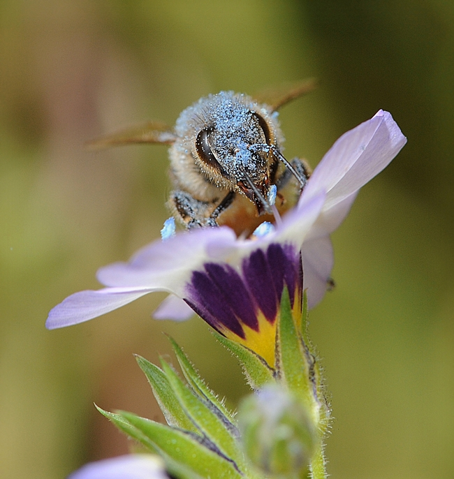 Honey bee covered with blue pollen from bird's eyes (Gilia tricolor). (Photo by Kathy Keatley Garvey)
