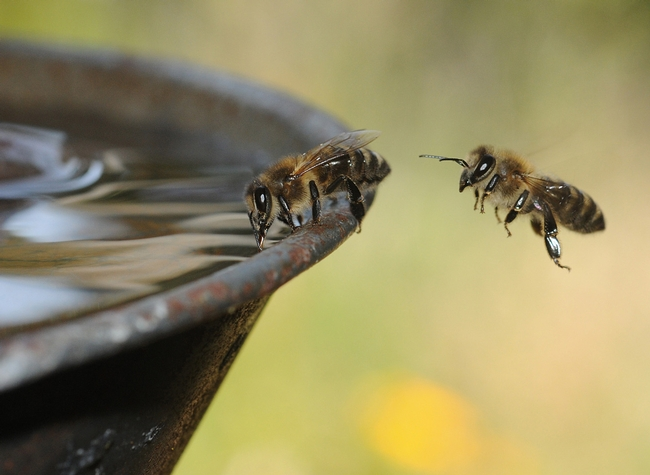 Backyard beekeepers must provide water for their bees or they will visit a neighboring yard, where they may not be welcome. (Photo by Kathy Keatley Garvey)