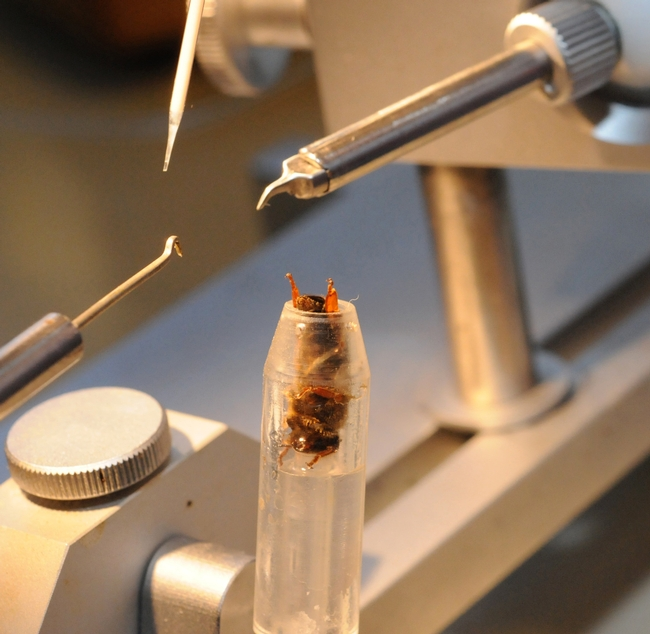 Queen bee insemination, perfected by bee breeder-geneticist Susan Cobey of UC Davis and Washington State University, can help aid the troubled bee industry. (Photo by Kathy Keatley Garvey)