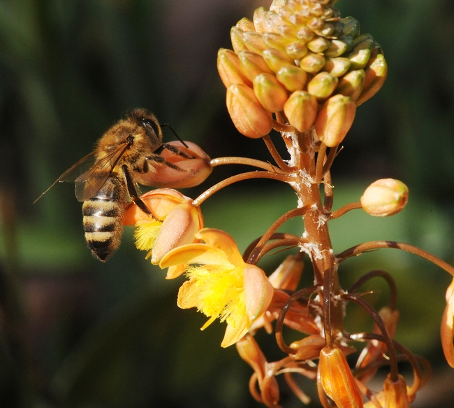 Honey bee takes a liking to a bulbine in mid-December in the Haagen-Dazs Honey Bee Haven. (Photo by Kathy Keatley Garvey)