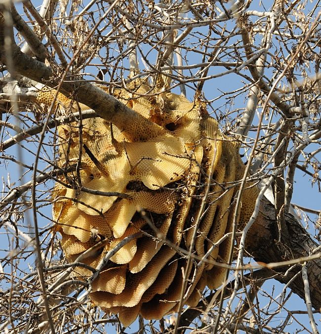 Feral honey bee colony in a Modesto ash tree in Vacaville is still going strong. On Sunday, it will enter its third year of existence. (Photo by Kathy Keatley Garvey)