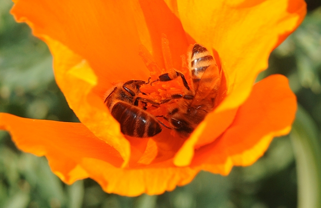 Two honey bees sharing a California poppy on Garrod Drive, UC Davis. (Photo by Kathy Keatley Garvey)
