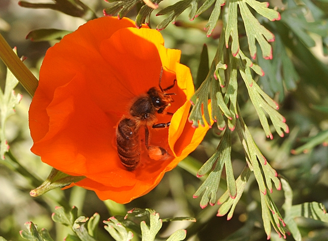 Honey bee foraging in a California poppy. The green leaves are tinged with red, holiday colors. (Photo by Kathy Keatley Garvey)