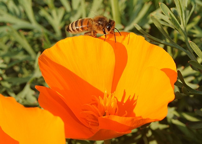 Honey bee walking along a petal of a California poppy. (Photo by Kathy Keatley Garvey)