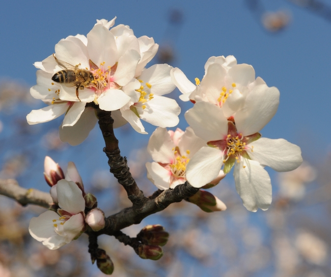 Honey bee pollinating an almond blossom in the spring of 2011. (Photo by Kathy Keatley Garvey)