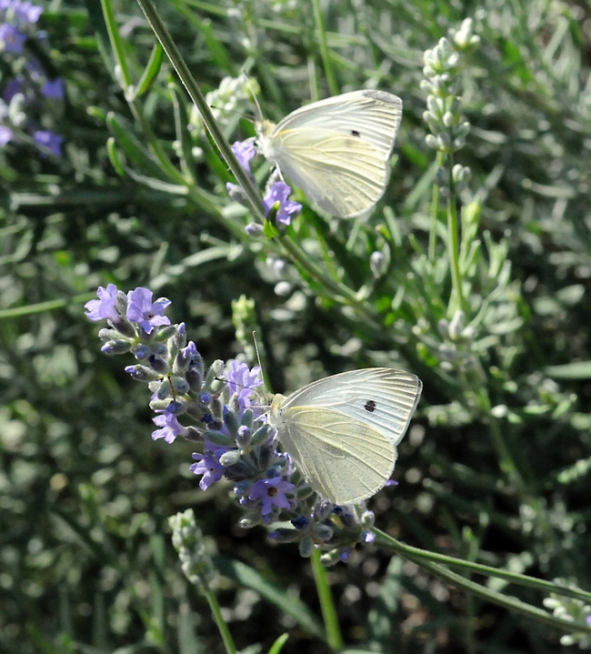 Two cabbage whites (Pieris rapae) on catmint in Vacaville, Calif., on Sept. 7, 2008. (Photo by Kathy Keatley Garvey)