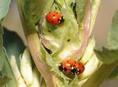 Ladybugs in the fava beans at the Haagen-Dazs Honey Bee Haven. (Photo by Kathy Keatley Garvey)