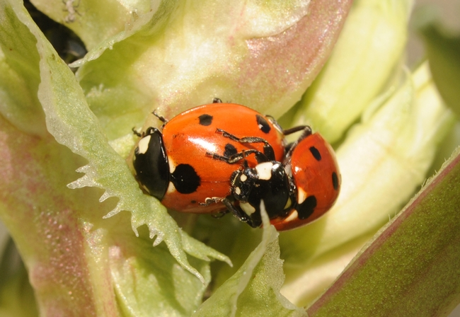 Soon the Haagen-Dazs Honey Bee Haven will have a new generation of ladybugs. (Photo by Kathy Keatley Garvey)