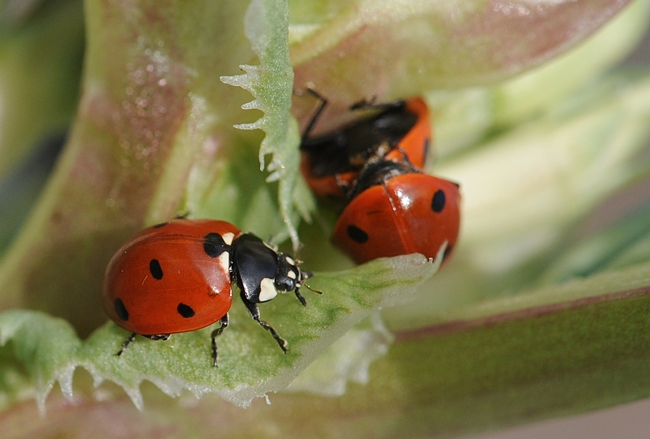 A sole ladybug, aka lady beetle, crawls past a pair of the beetles. (Photo by Kathy Keatley Garvey)