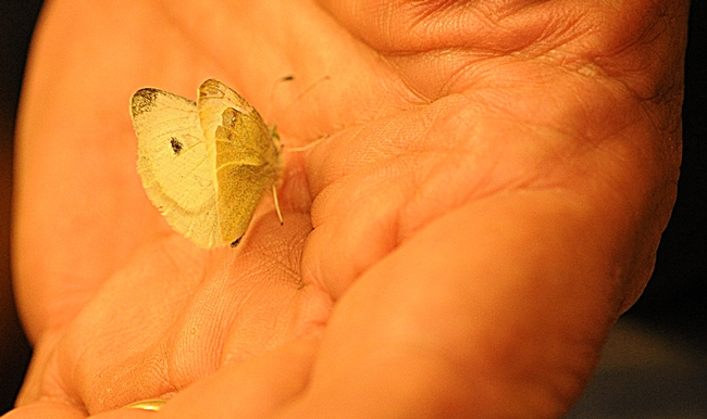 This is the first cabbage white butterfly found this year in the three-county area of Solano, Sacramento and Yolo. (Photo by Kathy Keatley Garvey)