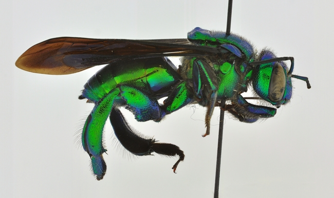 This is a parasitic orchid bee, Exaerete kimseyae, named for Lynn Kimsey.