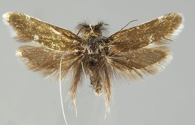 This is a fairy moth, Adela thorpella, named for Robbin Thorp. (Photo courtesy of Jerry Powell)