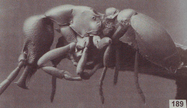 This is Pyramica warditeras, an ant named for Phil Ward. The species name translates from Greek to mean