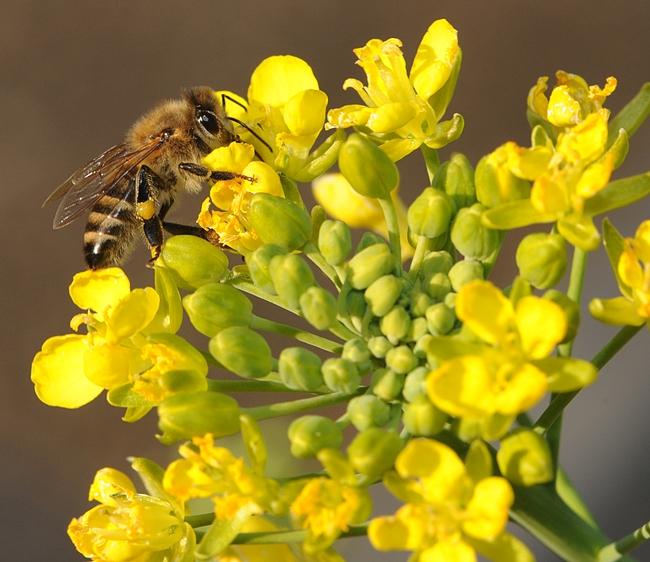 Honey bee foraging on a blooming bok choy. (Photo by Kathy Keatley Garvey)