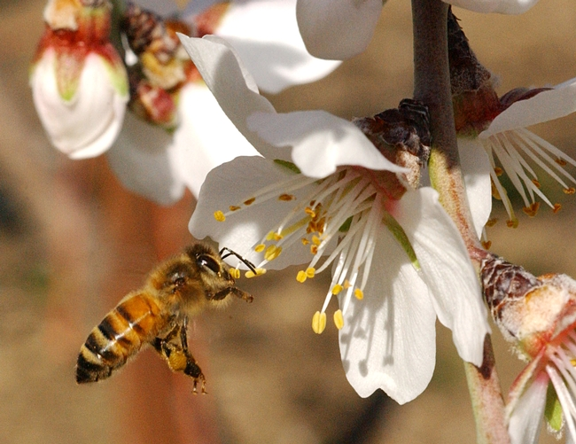 Honey bee heading toward almond blossoms. (Photo by Kathy Keatley Garvey)