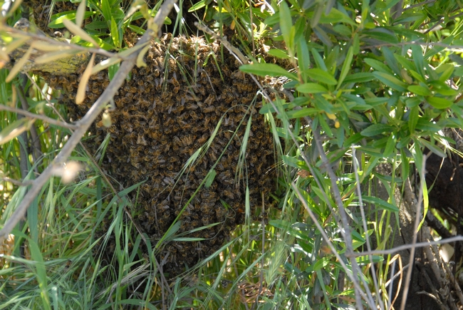 Honey bee swarm on the grounds of the Harry H. Laidlaw Jr. Honey Bee Research Facility at UC Davis. (Photo by Kathy Keatley Garvey)