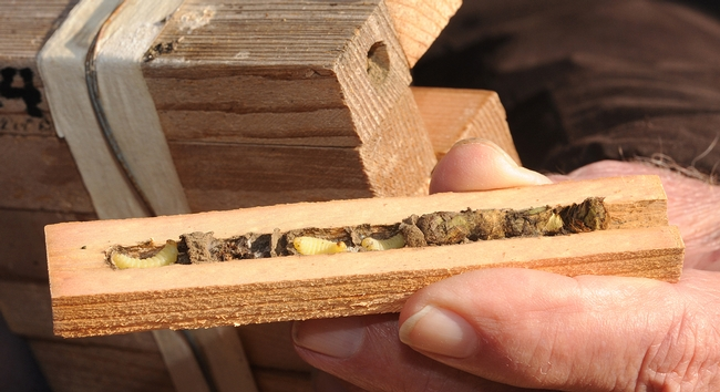 Bee condo for leafcutting bees includes the offspring (left) of a solitary mason wasp. (Photo by Kathy Keatley Garvey)