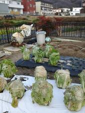 Cabbage tied up until harvest.