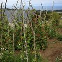 Natural garden stakes near Puerto Montt, Chile