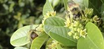 coffeeberry-bees for The Backyard Gardener Blog