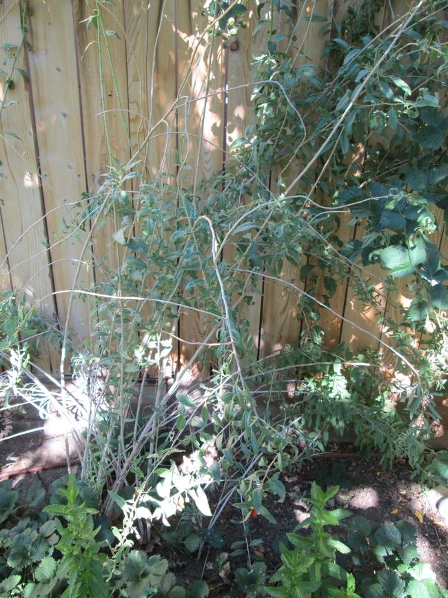 A very untidy shrub!
