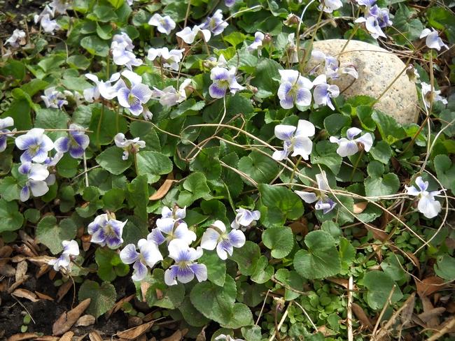 Beautiful but invasive violets