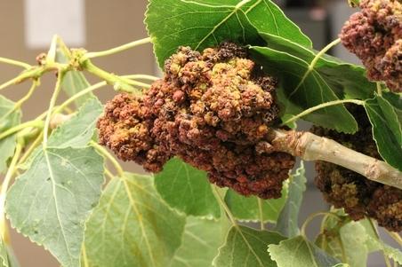 A bud gall on a poplar